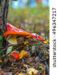 Small photo of red amanita in the autumn forest with needles in the background.