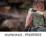 Kestrel  Falco Tinnunculus ...