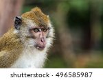 crab eating macaque in hat chao ... | Shutterstock . vector #496585987