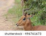 Impala With Broken Horn