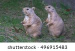 Small photo of WASHINGTON, DC - SEPT, 2014: Two cute prairie dogs stand together at Washington National Zoo where open prairie dog exhibit always is always good for a dose of cuteness.
