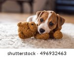 Stock photo jack russel puppy on white carpet 496932463