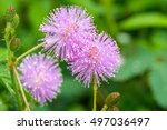 Pink Flowers Of Mimosa Pudica ...
