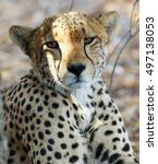 Small photo of Cheetah (Acinonyx jubatus) full front view in Hwange national park, Zimbabwe, Souterhn Africa