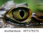 Caiman Crocodile Eye