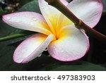 plumeria vintage tone on the... | Shutterstock . vector #497383903