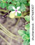 Small photo of vintage vinca flower for background