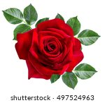 rose isolated on the white... | Shutterstock . vector #497524963