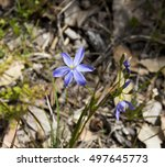 Small photo of Rare endangered Silky Blue Orchid - Cyanicula sericea- growing in spring in Manea Park remnant bushland, Bunbury, Western Australia is one of the delights of the orchid species.