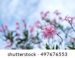 Sweet Oleander  Rose Bay ...