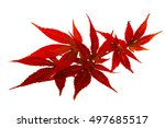 Small photo of Acer japonicum, autumn leaves, isolated on white background