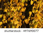 yellow birch leaves hanging on... | Shutterstock . vector #497690077