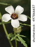 Small photo of Flower-of-an-hour (Hibiscus trionum). Called Bladder hibiscus, Bladder ketmia, Bladder weed, Modesty, Puarangi, Shoogly and Venice mallow also