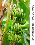 Close Up View Of Unripe Banana...