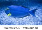 Small photo of Atlantic blue tang (Acanthurus coeruleus)