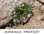 Small photo of Claytonia megarhiza