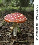 Small photo of Amanita muscaria in the forest