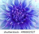 blue dahlia  flower.  close up. ... | Shutterstock . vector #498302527