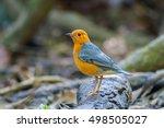 orange headed thrush zoothera... | Shutterstock . vector #498505027
