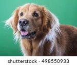 happy golden retriever dog... | Shutterstock . vector #498550933