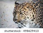 Far Eastern Leopard. Big Muzzl...