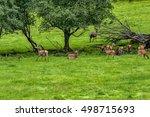 herd of mother elk with spotted ...   Shutterstock . vector #498715693