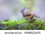 Small photo of Brown-cheeked Fulvetta, Grey-eyed Fulvetta (Alcippe poioicephala)