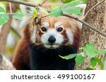 Portrait Of A Red Panda  Also...