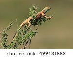 Small photo of Male ground agama (Agama aculeata) in breeding colors on a branch, Kalahari desert, South Africa