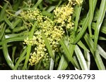 Small photo of Searsia lancea, Karee tree, African sumac, Willow rhus, small evergreen tree with trifoliate leaves with linear leaflets, very small yellow flowers in panicles.