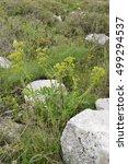 Thompson's Spurge   Euphorbia...
