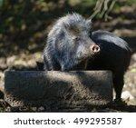 collared peccary  pecari tajacu  | Shutterstock . vector #499295587