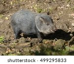 collared peccary  pecari tajacu  | Shutterstock . vector #499295833