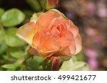 Peach Rose.