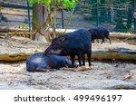 collared peccary  pecari tajacu  | Shutterstock . vector #499496197