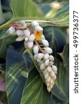 Small photo of Shell ginger, Alpinia zerumbet, flower of the Zingiberaceae family originating in China and Japan - Sao Paulo, SP, Brazil - October 10, 2015