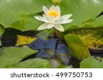 The Water Lily Flower...