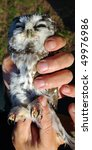 Small photo of Owl (Aegolius funereus) in hands, powerful claws on strong paws are well visible