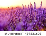 Blooming Lavender In A Field A...