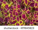 A Photo Of A Red Coleus Plant...
