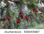 Branches Of Pine Tree With Red...