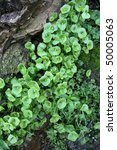 Small photo of Wet rocks, Miner's Lettuce (Claytonia perfoliata), flowers, and moss, natural close up