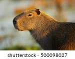 biggest mouse around the world  ... | Shutterstock . vector #500098027