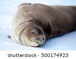 weddell seal  antarctica | Shutterstock . vector #500174923