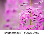 chamerion angostifolium. pink... | Shutterstock . vector #500282953