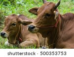 close up ox and cow lay down... | Shutterstock . vector #500353753