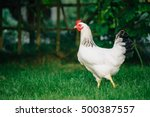 White Loose Chicken Outdoor In...