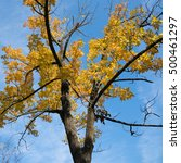 Small photo of Maple Tree with Leaves Turned Yellow in Autumn Fall under Blue Sky