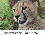 Close Up Of A Baby Wild Cheeta...