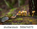 Small photo of Amanita verna mushrooms in the forest Canada